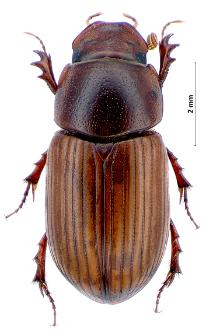 Aphodius rufus (Moll, 1782)
