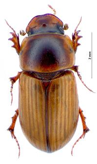 Aphodius sordidus (Fabricius, 1775)