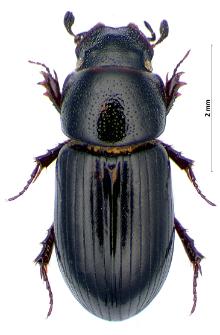 Aphodius plagiatus (Linnaeus, 1767)