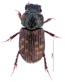 Heptaulacus testudinarius (Fabricius, 1775)