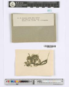 Hormiscia subtilis (Kütz.) De-Toni.