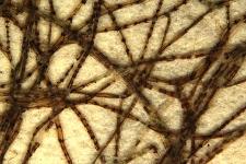 Spirogyra heeriana Naeg.