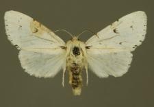 Acronicta leporina (Linnaeus, 1758)