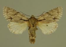 Acronicta psi (Linnaeus, 1758)