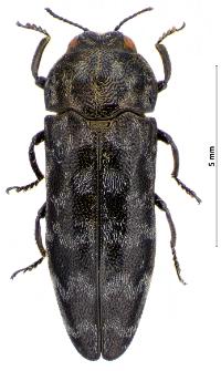 Coraebus undatus (Fabricius, 1787)