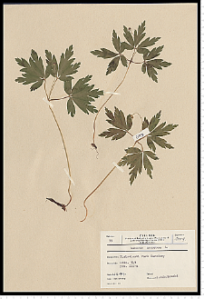 Anemone nemorosa L.