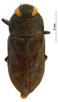 Anthaxia sepulchralis (Fabricius, 1801)