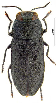 Anthaxia morio (Fabricius, 1792)