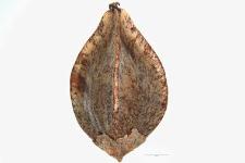 Fagopyrum esculentum Moench.