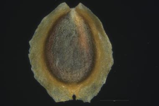 Corispermum Marschallii Stev.