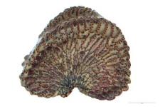 Silene otites (L.) Wib