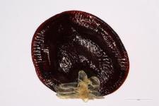 Moehringia trinervia (L.) Clairv.