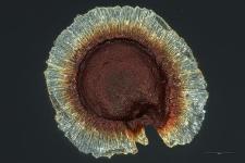 Spergularia marginata (DC) Kittel