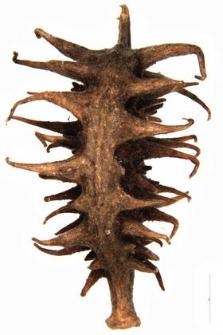Ranunculus arvensis L.