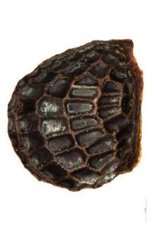 Glaucium corniculatum Curt.