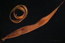 Dentaria enneaphyllos L.