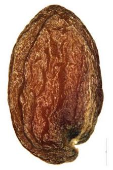 Dentaria glandulosa W. K.