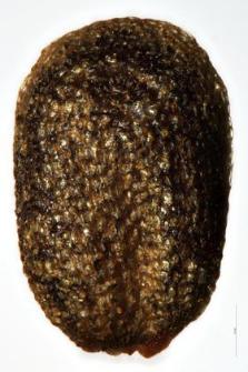 Barbarea vulgaris R. Br.