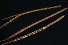Arabis hirsuta (L.) Scop.
