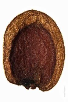 Arabis bellidifolia Jacq.