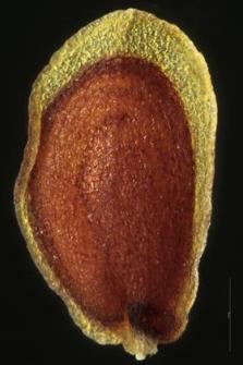 Arabis arenosa (L.) Scop.
