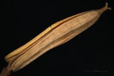 Cheiranthus cheiri L.