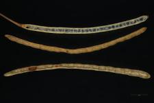 Descurainia sophia (L.) Webb.
