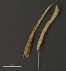 Brassica campestris L.