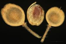 Alyssum calycinum L.