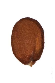 Erophila verna (L.) C.A.M.
