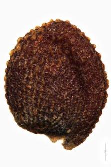 Cochlearia anglica