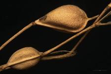 Camelina sativa (L.) Cr.