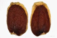 Kernera saxatilis Rchb.