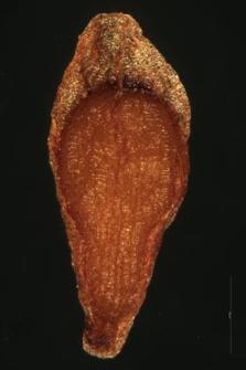 Sempervivum soboliferum L.