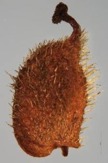Filipendula hexapetala Gilib.