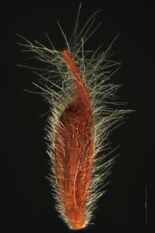 Dryas octopetala L.
