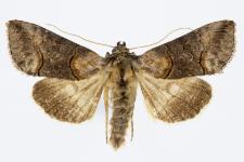 Abrostola asclepiadis