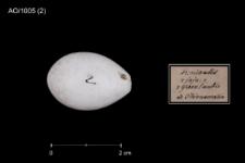 Montifringilla nivalis