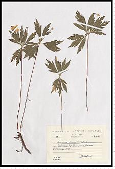 Anemone ranunculoides L.