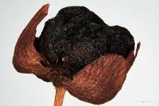 Rubus chamaemorus L.