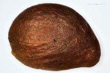 Sibbaldia procumbens L.