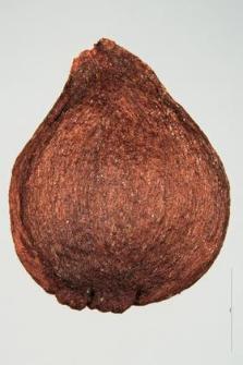 Sorbus domestica L.