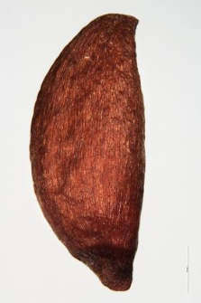 Sorbus aria (L) Cr.