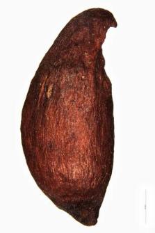 Sorbus intermedia Pers.