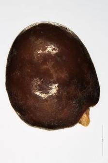 Genista germanica L.