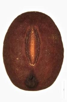 Lathyrus tuberosus L.