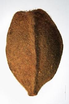 Tilia grandifolia