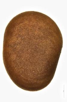 Rhus typhina L.
