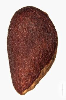 Evonymus verrucosa Scop.