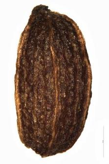 Pimpinella maior (L.) Huds.